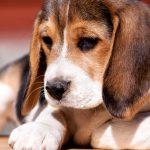 Choisir une race de chien: plus de petits chiens et de races mélangées 6