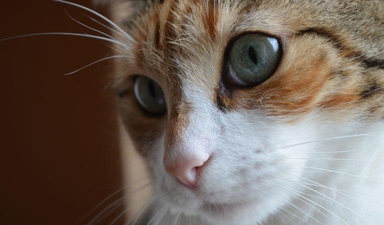 Les pierres de la vessie peuvent-elles tuer des chats? Sauvez votre chat du couteau du chirurgien