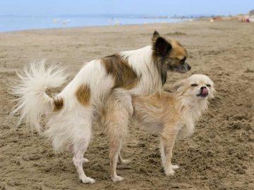 accouplement de chien