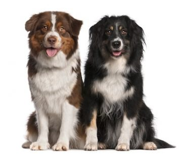 comportement des chiens nos deux chiots berger australien et le canape blanc