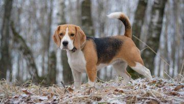 les caracteristiques dun chiot et dun chien beagle