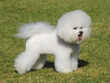 races de chiens bichon frise