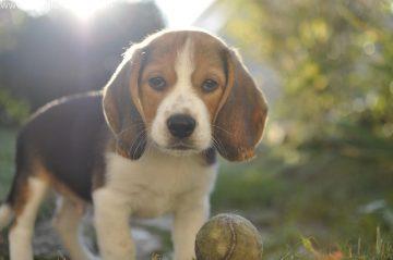 races de chiens vous pensez donc que vous voulez un beagle