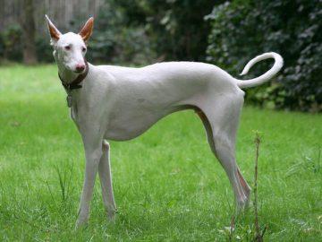 un chasseur espagnol le chien dibiza